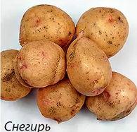 Картофель снегирь: характеристика и описание, отзывы, фото, урожайность сорта