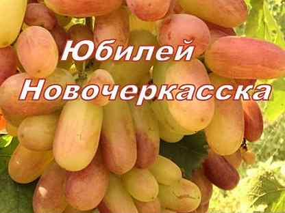 Описание сорта винограда юбилей новочеркасска