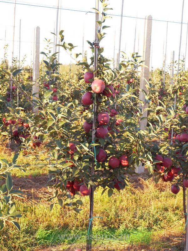 Популярнейшая яблоня ред чиф: описание, фото