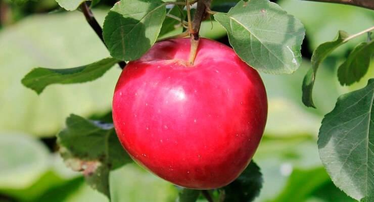 Яблоня коваленковское