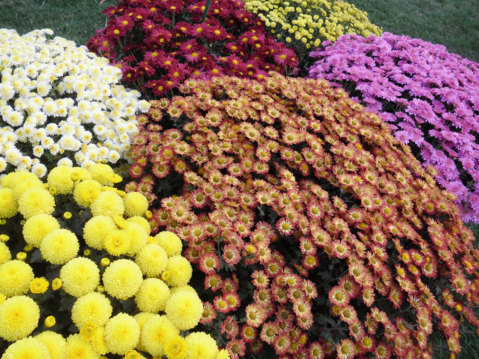 Хризантема мультифлора: описание,выращивание,виды,сорта,размножение,уход,фото,видео. | растюнька