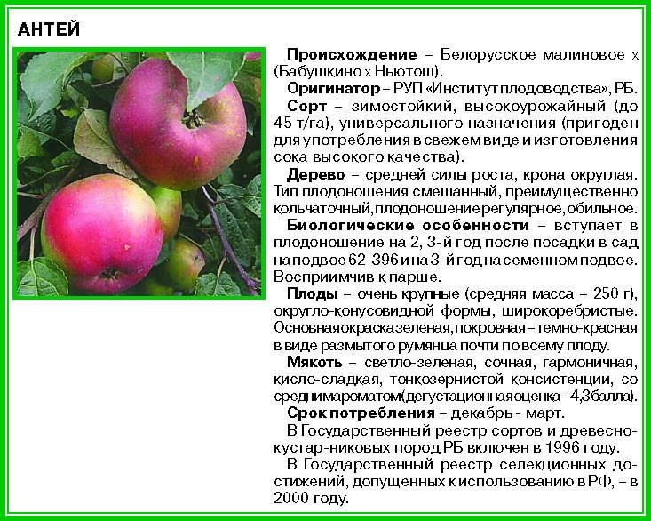 Яблоня легенда: описание, фото, отзывы