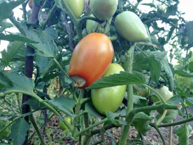 Вершинная гниль томатов: как бороться и спасти помидоры народными средствами