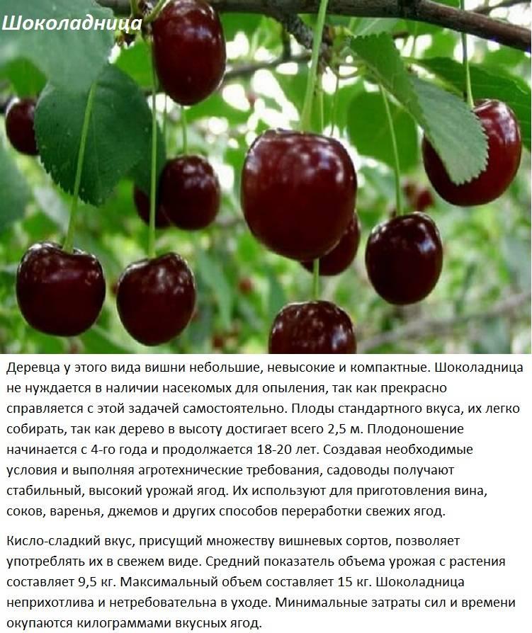 Вкусная вишня морозовка: особенности сорта и нюансы выращивания