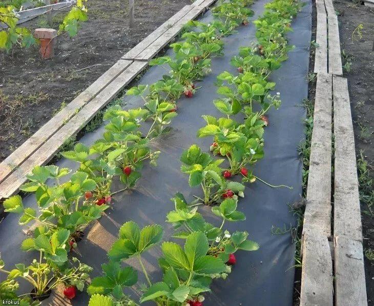 Клубника посадка и уход в открытом грунте в сибири - сад и огород