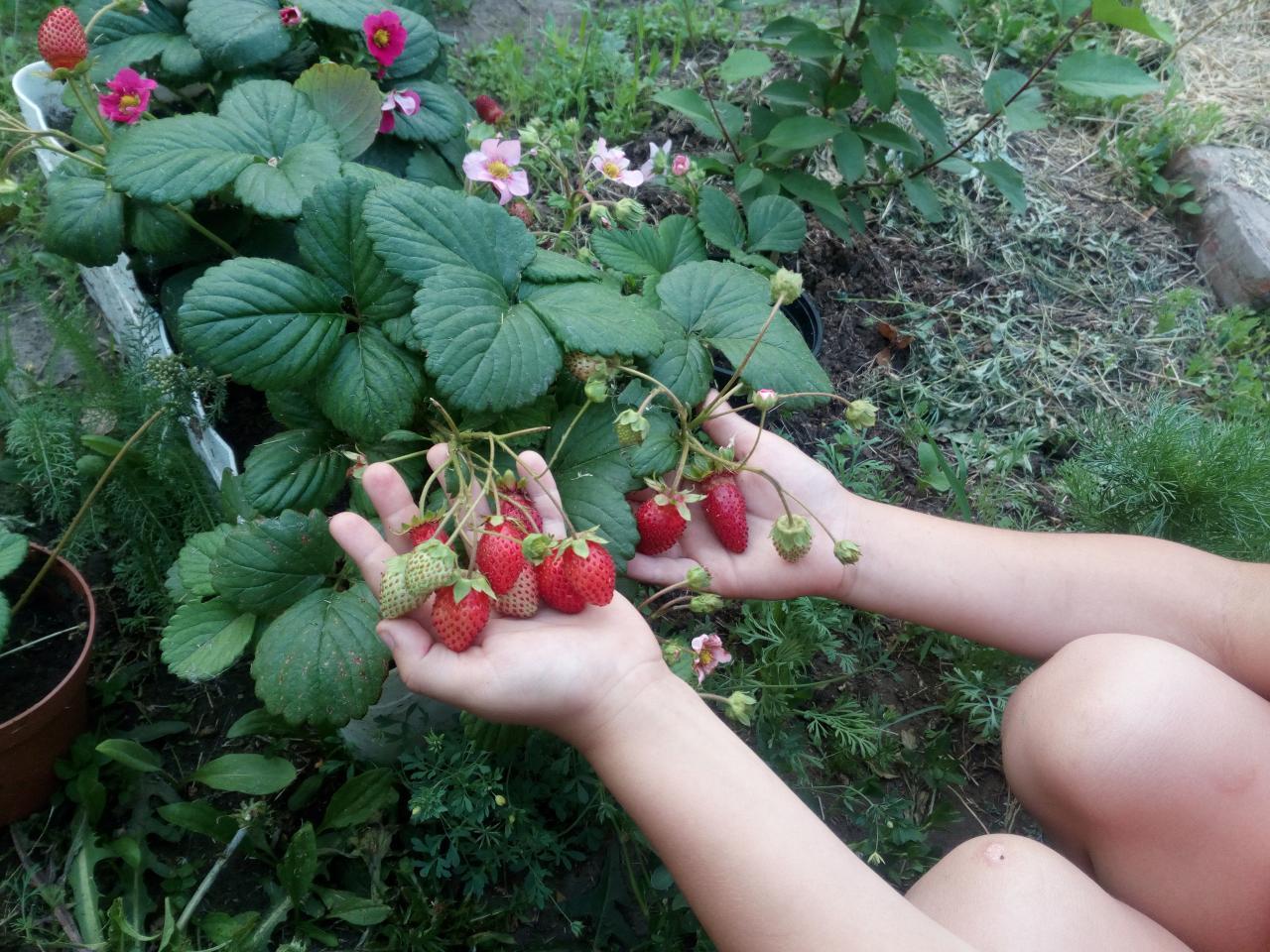 О клубнике берегиня: описание и характеристики сорта, посадка, уход, выращивание