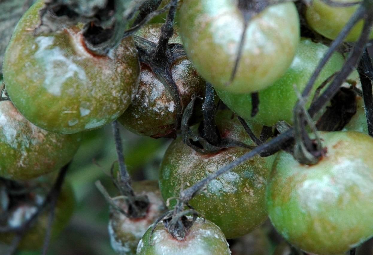 Как быстро помочь помидорам, если они чернеют