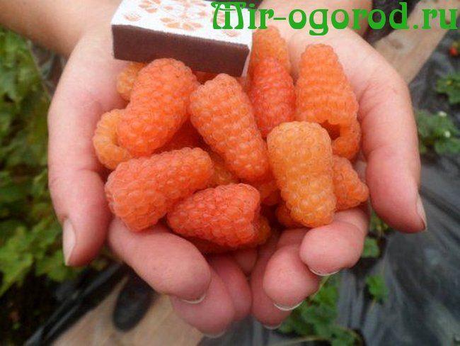 Описание сорта малины оранжевое чудо: отзывы и фото