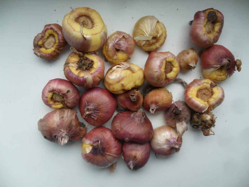 Как резать луковицу гладиолуса