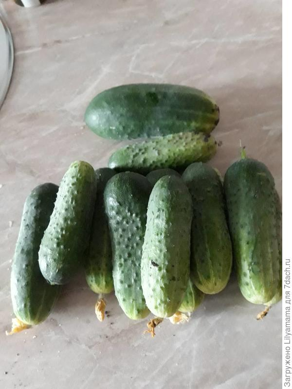 Описание сорта огурцов изумрудная семейка, особенности выращивания и ухода