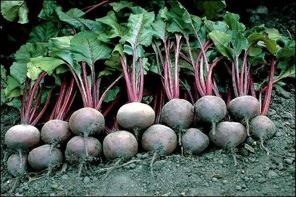 Выращивание свеклы сорта пабло. особенности сорта, как посадить, уход, сбор урожая, правила и сроки посадки в 2021 году