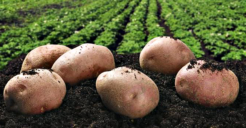 Картофель луговской: описание и характеристика сорта, урожайность с фото