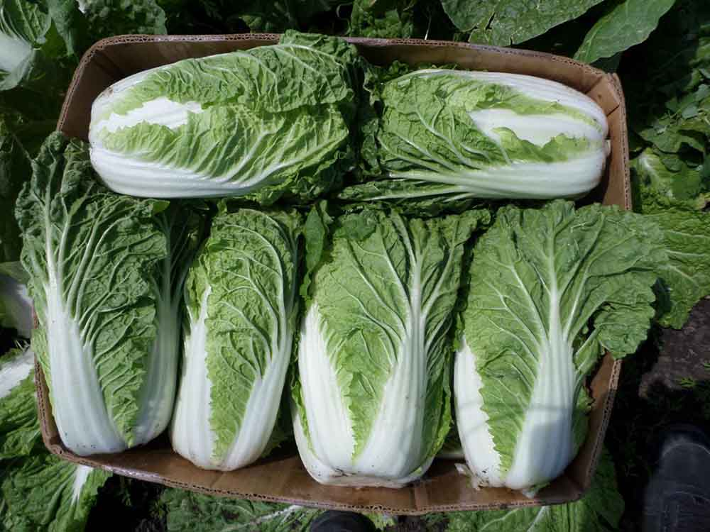 Лучшие сорта капусты