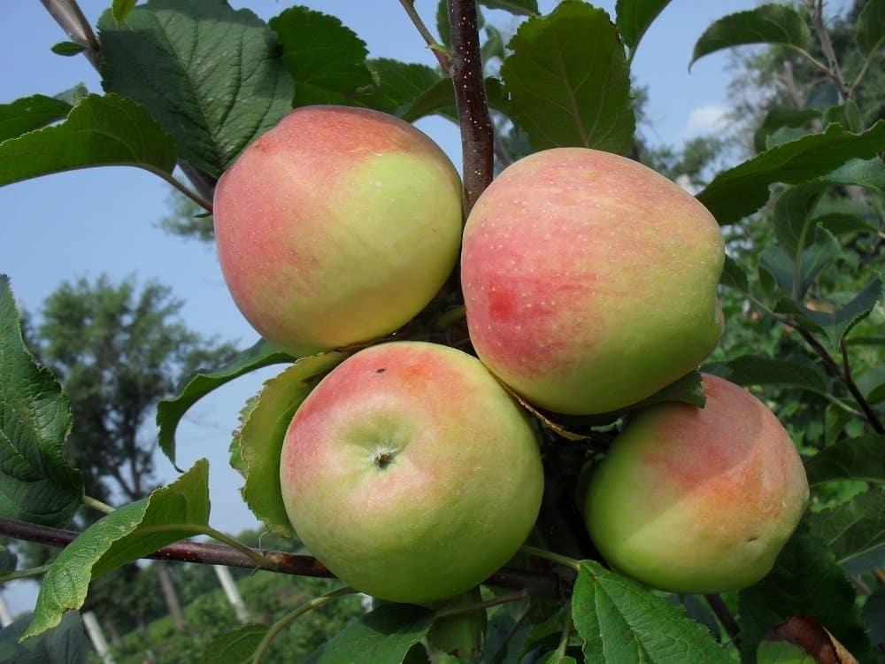 Описание сорта яблони строевское: фото яблок, важные характеристики, урожайность с дерева