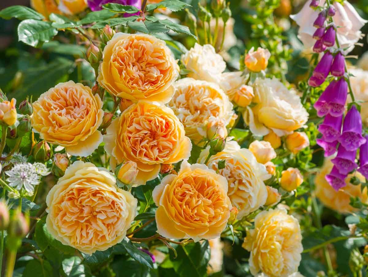 Сорта пионовидных роз: выращивание и уход в открытом грунте