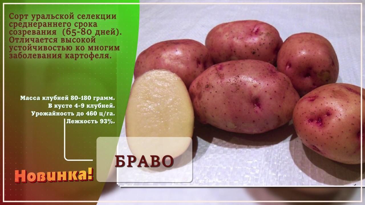 Отечественный картофель сорта снегирь: идеален для условий сибири