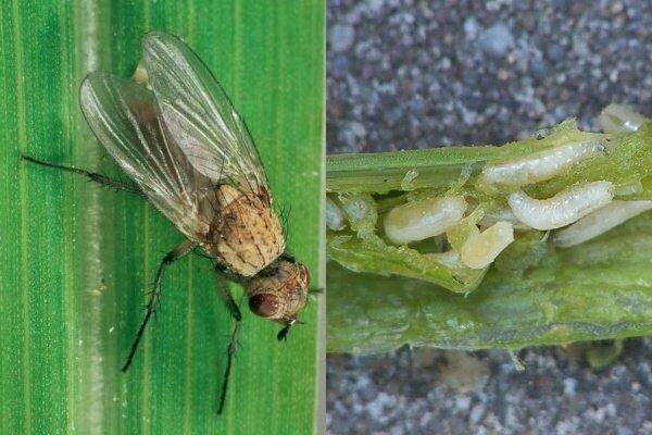 Луковая муха: избавляемся от вредителя химическими и народными средствами – dachampion