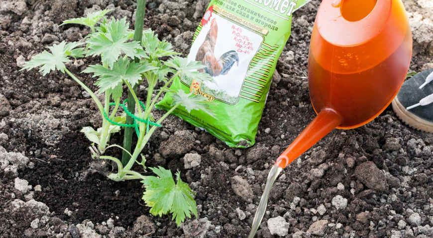 Подкормка арбузов, в том числе в открытом грунте, а также удобрение народными средствами