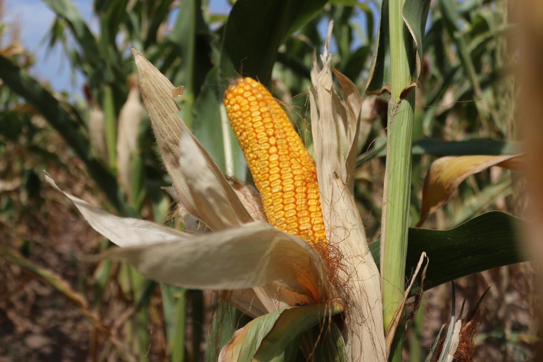 Что такое кукуруза: история, ботаника, роль в сельском хозяйстве