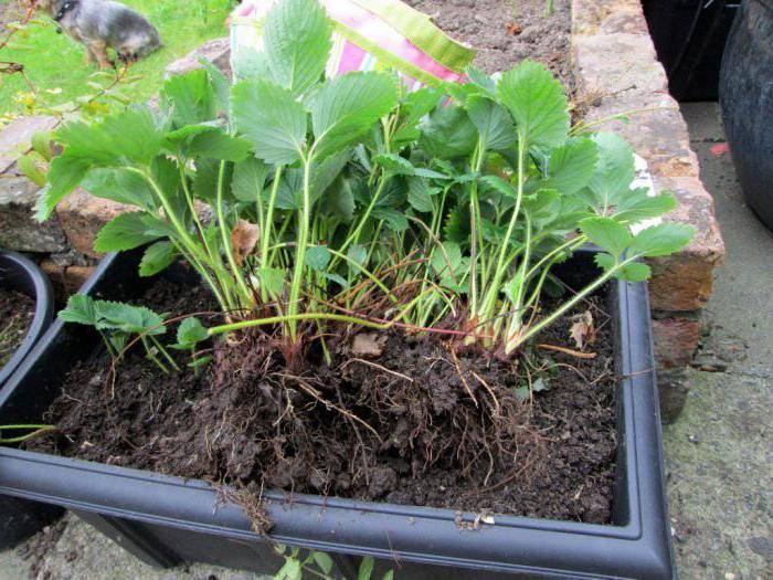 Руководство по выращиванию садовой земляники: посадка в открытый грунт и уход для хорошего урожая