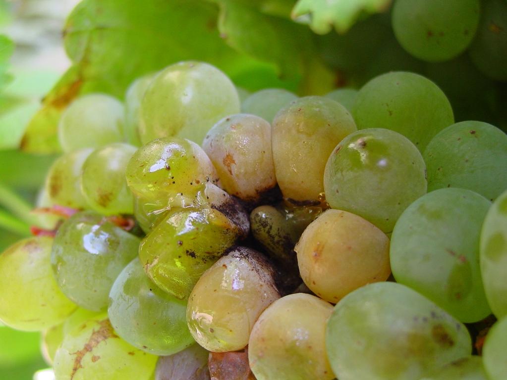 Болезни винограда: фото, видео, описание, лечение, обработка от вредителей