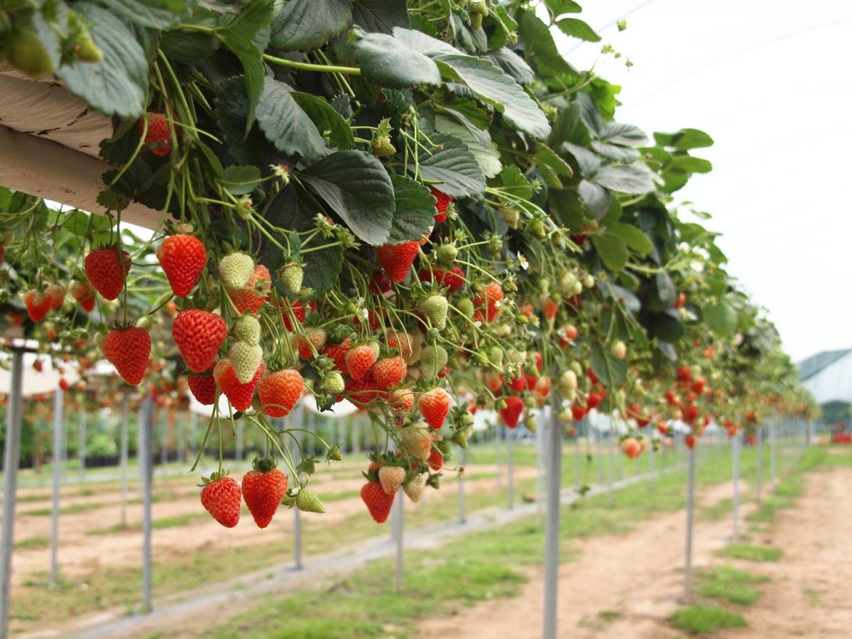 Ремонтантная клубника: особенности выращивания в тепличных условиях