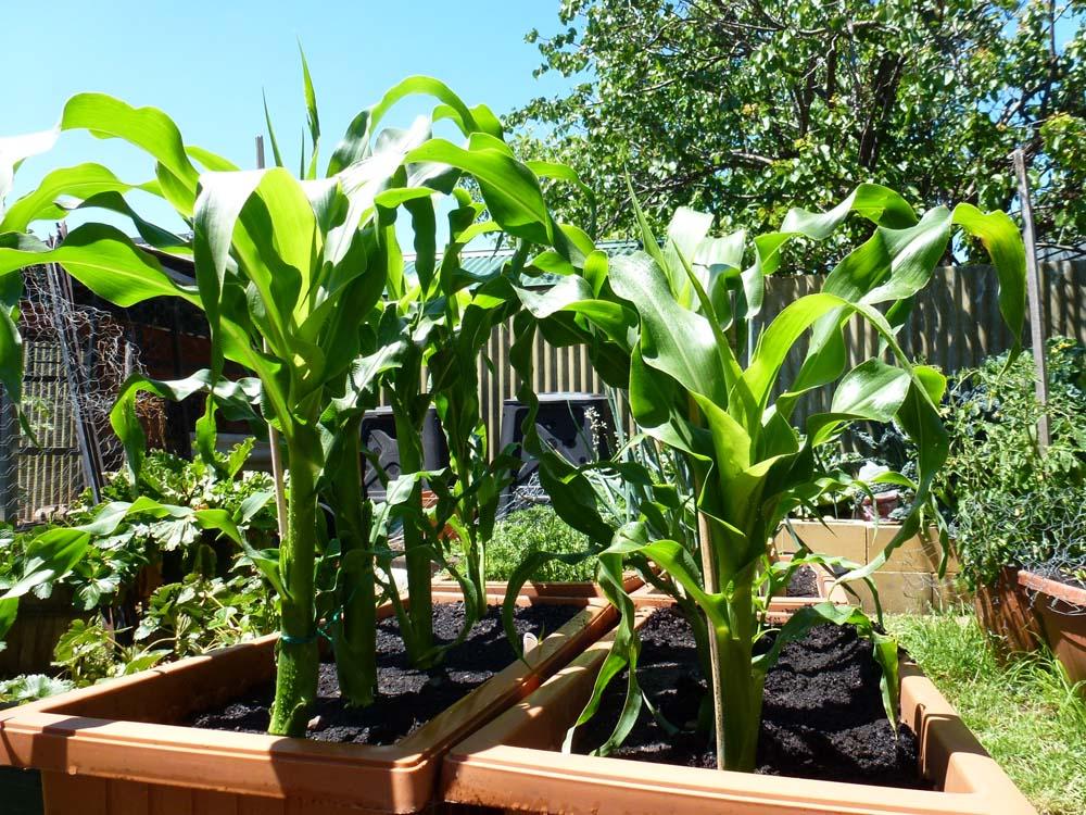 Как вырастить большой урожай кукурузы у себя на участке - огород, сад, балкон - медиаплатформа миртесен