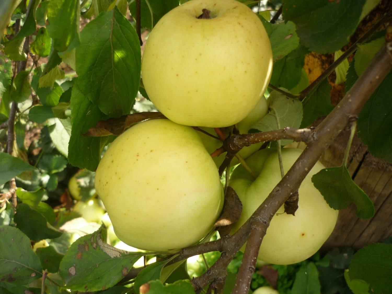 Как вырастить разнообразные сорта яблонь в подмосковье