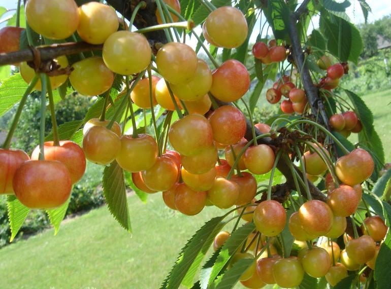 Черешня ярославна: описание сорта и опылители, выращивание и уход с фото