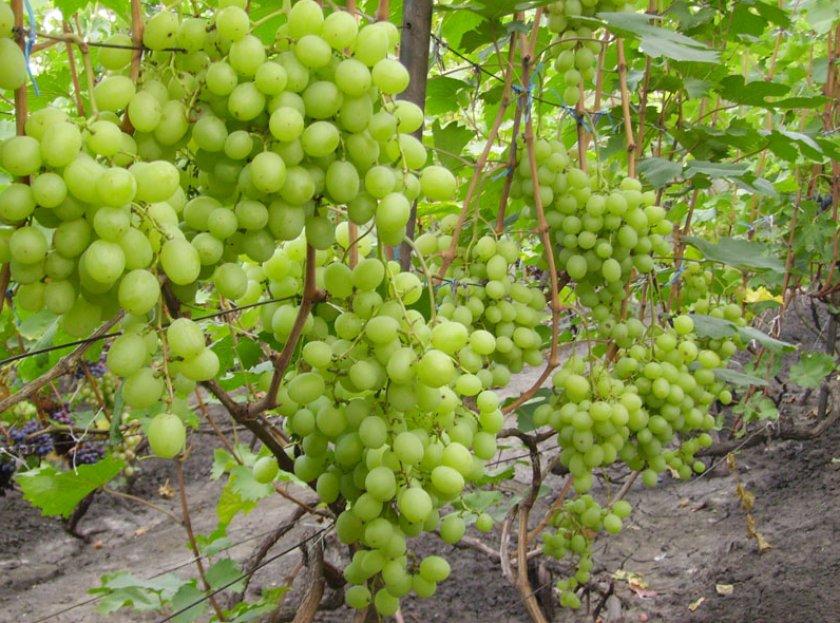 ᐉ кеша красный - столовая форма винограда - roza-zanoza.ru