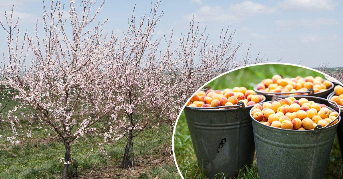 Персик в подмосковье: лучшие сорта, выращивание в открытом грунте, посадка и уход