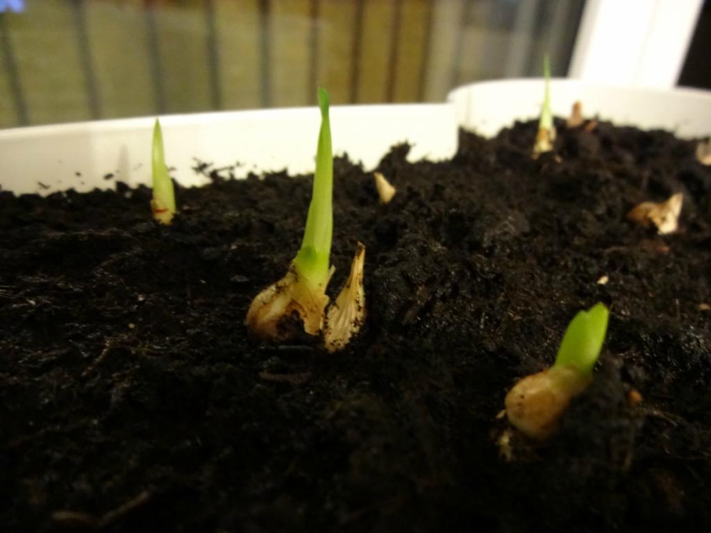 Фрезия: посадка, выращивание и уход в домашних условиях и в открытом грунте, фото цветов, хранение луковиц, цветение + видео