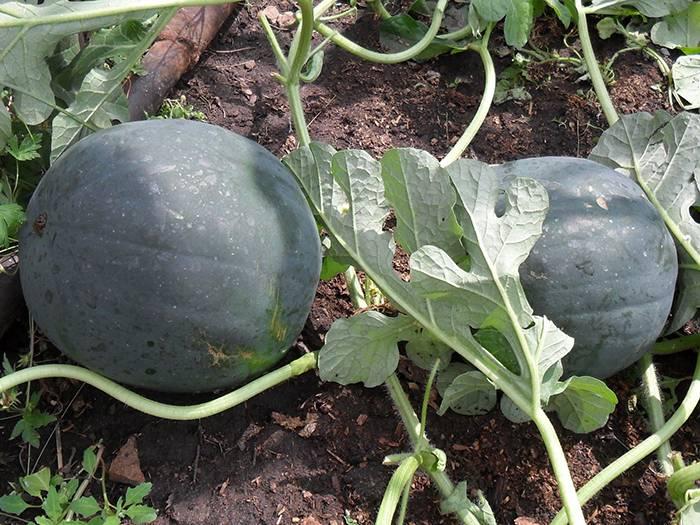 Дыня: выращивание на огороде, сорта