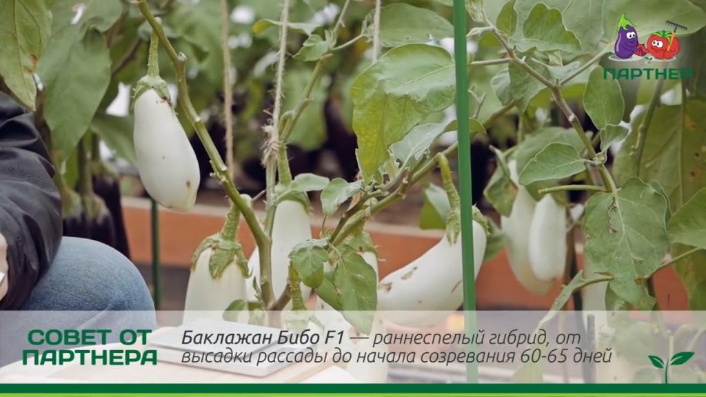 Бернар баклажан: описание, выращивание, уход, фото