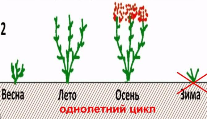 Уход за малиной весной на даче: советы | спутниковые технологии