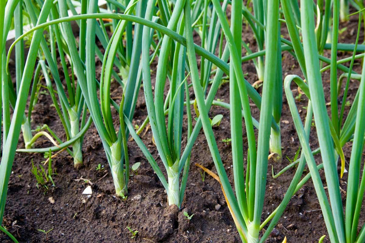 Посадка и уход за зеленым луком, его болезни и их лечение - всё про сады