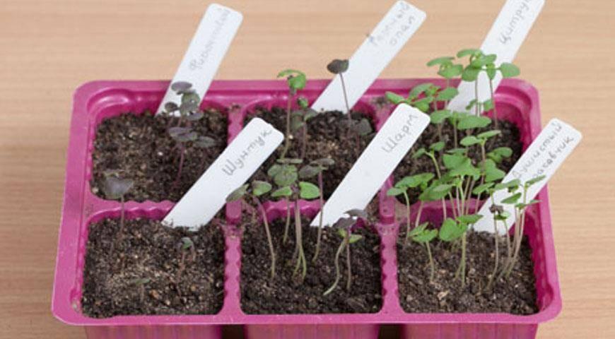 Как вырастить рассаду восточной пряности базилика в домашних условиях из семян?