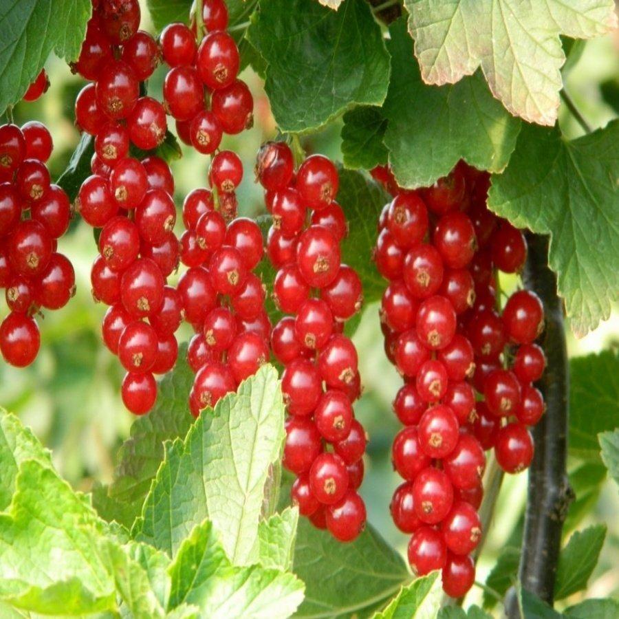 Красная смородина ровада: описание сорта и характеристики, посадка и уход
