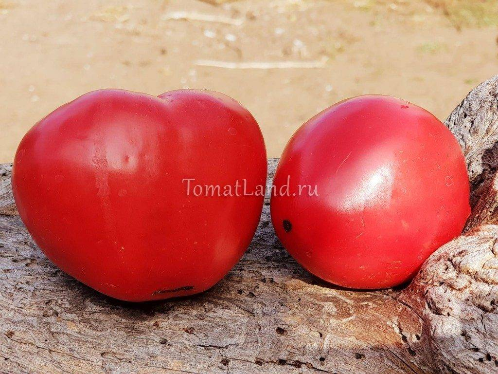 Томат салатный шапка мономаха: фото, описание и урожайность