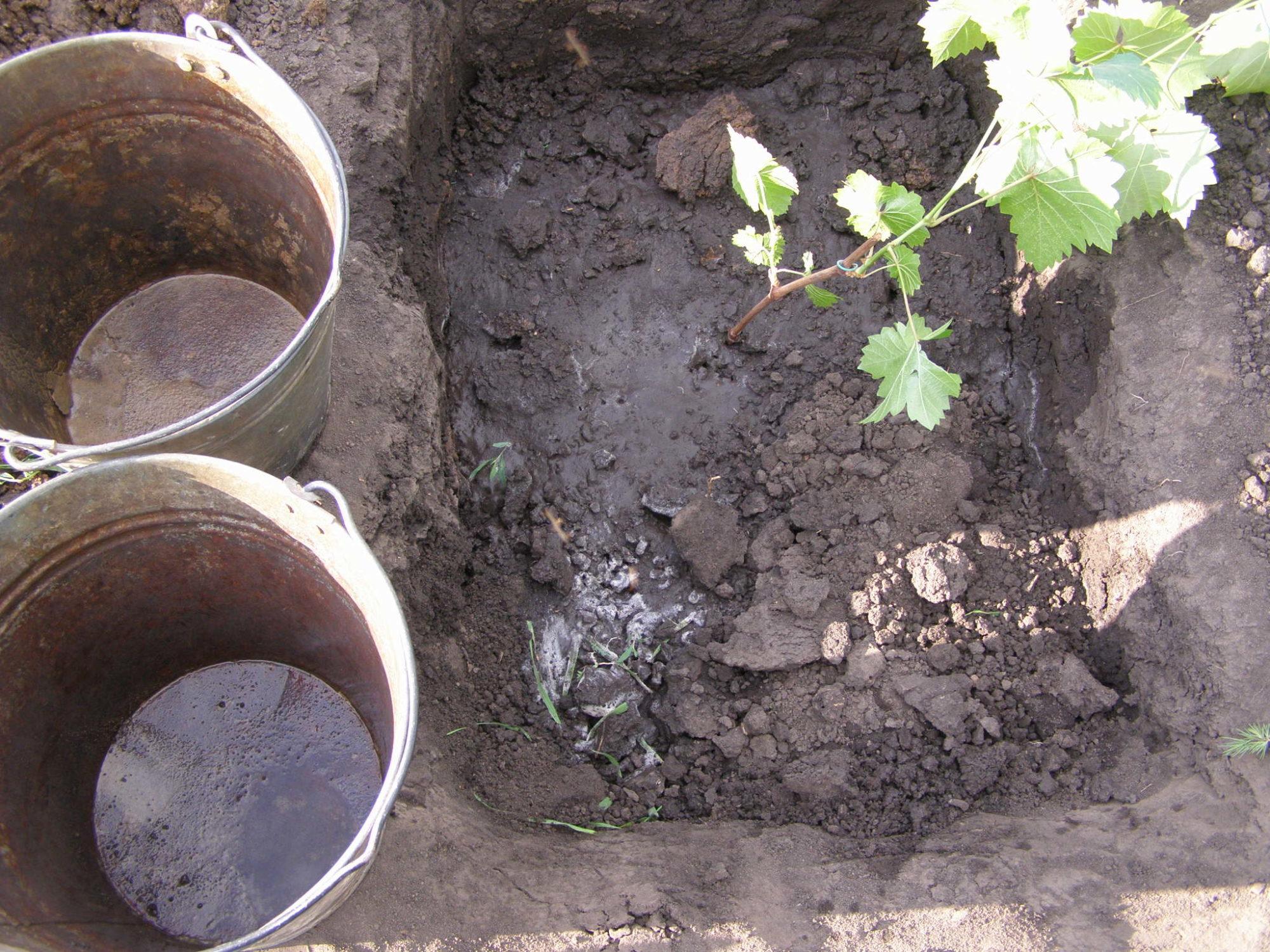 Как и когда пересаживать виноград на другое место весной и осенью?