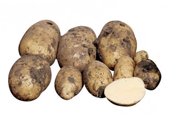 Картофель импала: описание сорта, выращивание, отзывы