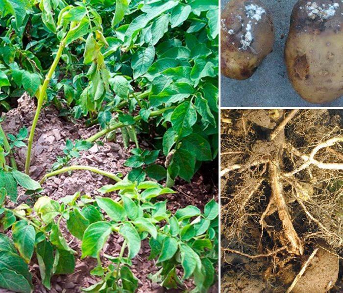 Фузариозное увядание картофеля | справочник пестициды.ru