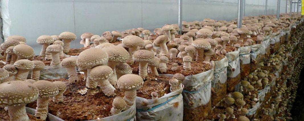 Выращивание шампиньонов: технология выращивания в домашних условиях и в промышленных масштабах (90 фото)