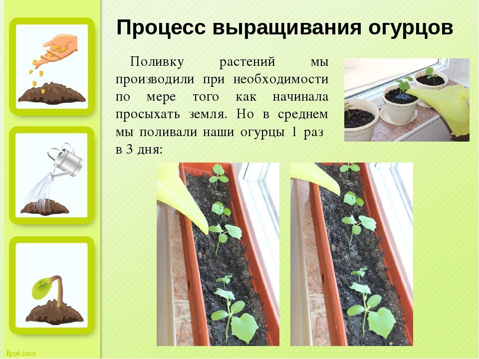 Выращивание фасоли: посадка и уход в открытом грунте