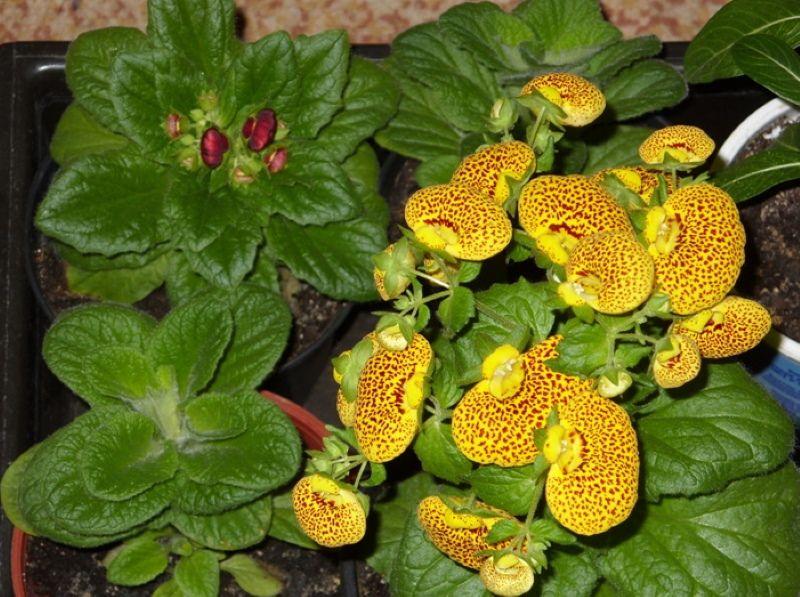 Как наслаждаться цветением кальцеолярии каждый год? выращивание из семян. уход в домашних условиях. фото — ботаничка.ru