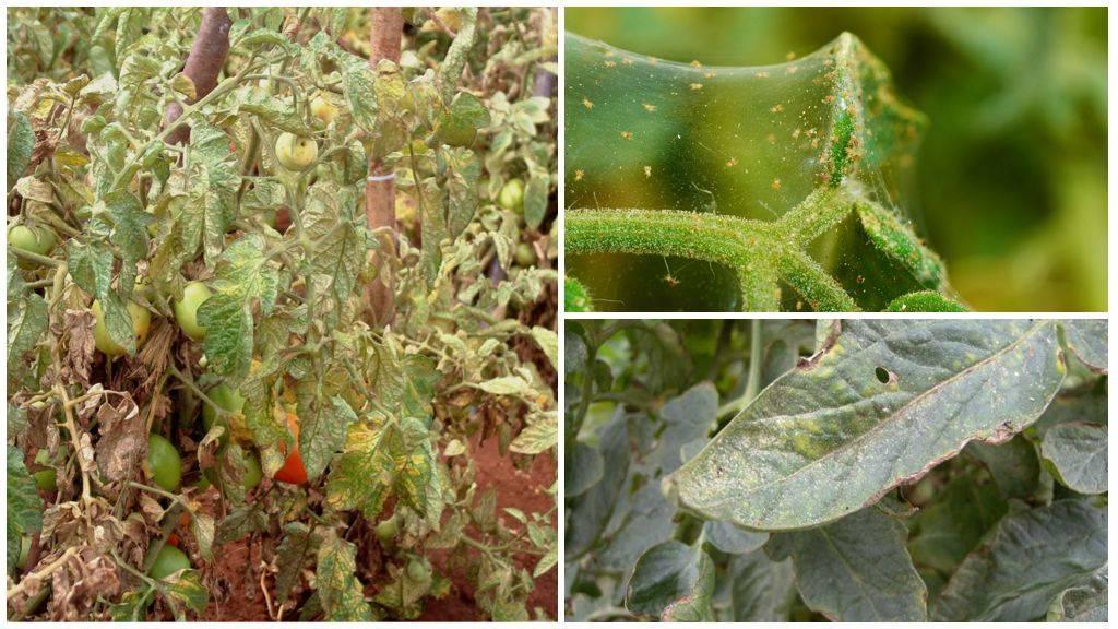 Как бороться с паутинным клещом на малине – отзывы садоводов и агрономов