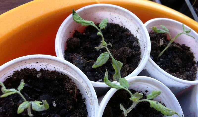 Скручиваются листья у рассады помидоров: причины, что делать - про сорта