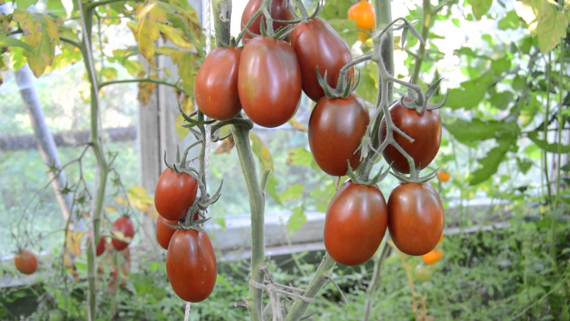 """Томат """"микадо чёрный"""": описание одного из ярких представителей чёрных томатов русский фермер"""