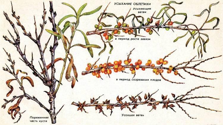 Облепиха – выращивание и уход
