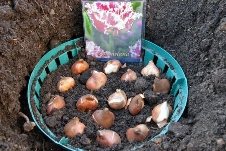 Сроки и способы посадки тюльпанов своими руками в корзины для луковичных